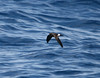 Wilson's Storm-petrel. Oceanites oceanicus by TG23-Birding in a Box