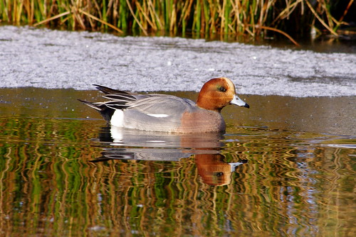 Wigeon on the Mere | by Simon Corble