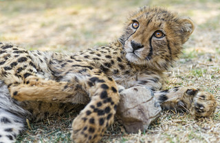 Cheetah cub having fun with a stone   by Tambako the Jaguar