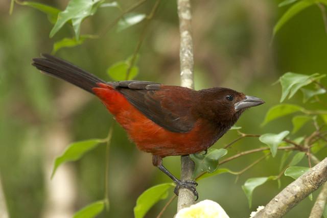Ramphocelus dimidiatus ♀ Crimson-backed Tanager