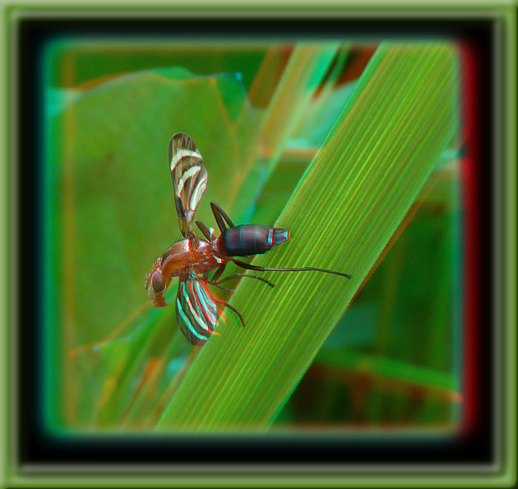 Tritoxa Incurva, Picture-winged Fly 1 - Anaglyph 3D
