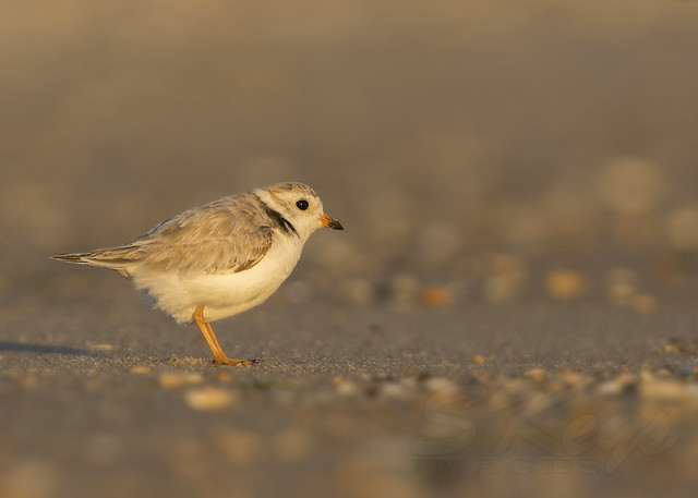 PipingPlover062415bCS