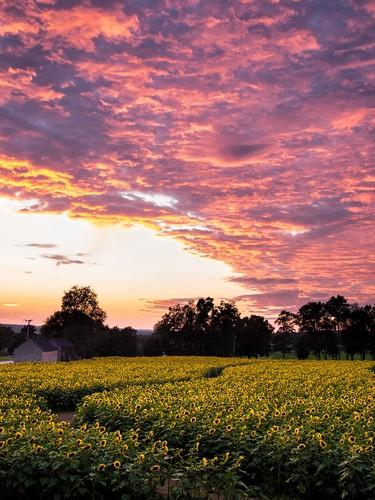 sunset july sunflowers 2013 panasonic20mmf17 olympusepm2