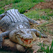 Saltwater Crocodile - Photo (c) Bernard DUPONT, some rights reserved (CC BY-SA)