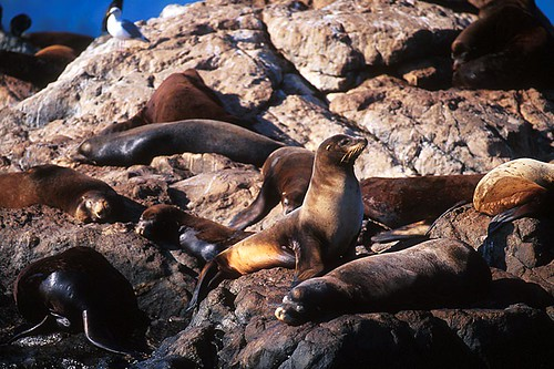 Sea Lions hauled out on Race Rocks, Juan de Fuca Strait, Vancouver Island, British Columbia