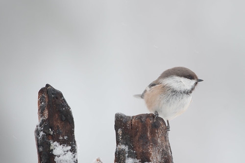 Siberian Tit | by glidergoth