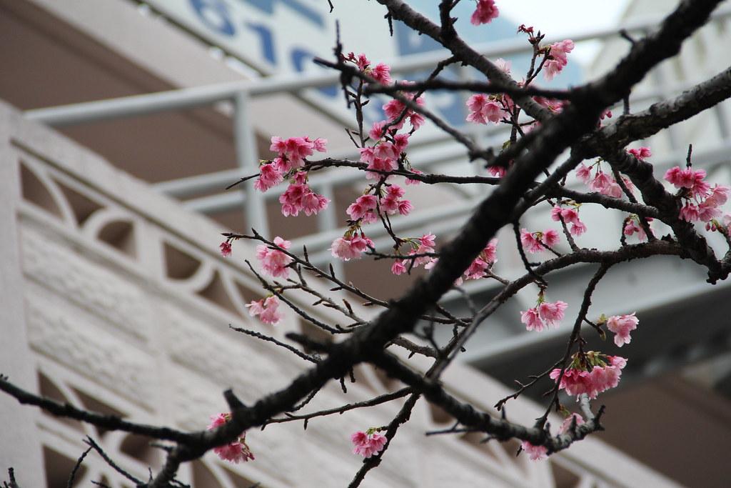 Pink sakura 3