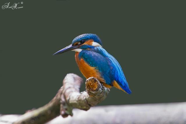 Guarda-rios, kingfisher (Alcedo atthis) - em Liberdade