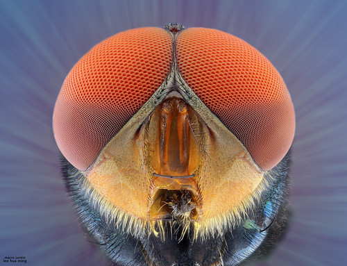Housefly | by melnikor