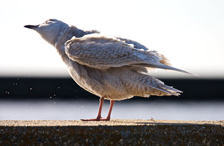Iceland Gull | by Podoces