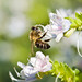 Bee Flickr