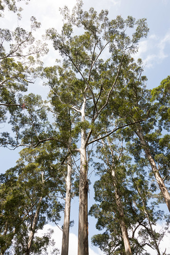 tree forest landscape nikon australia shannon eucalypt westernaustralia karri d600 2013 nikond600 shannonnationalpark nikonfx