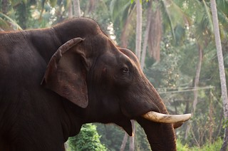 Indian Elephant | by Rob Oo