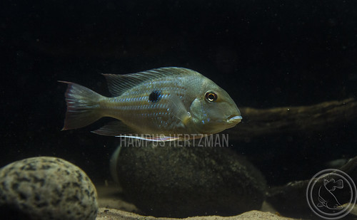 Geophagus Proximus | by Hampus Hertzman