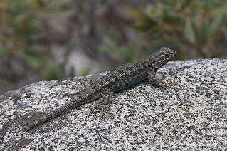 Western Fence Lizard 105849
