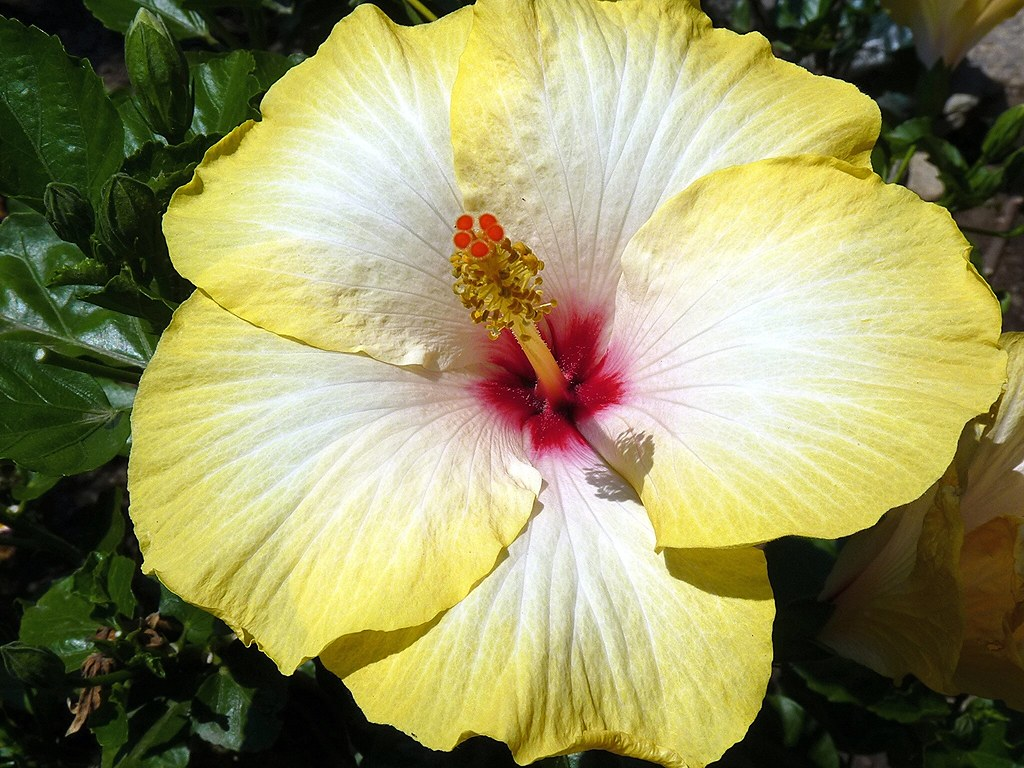 Taormina Yellow And Withe Hibiscus Rosa Sinensis In My G Flickr