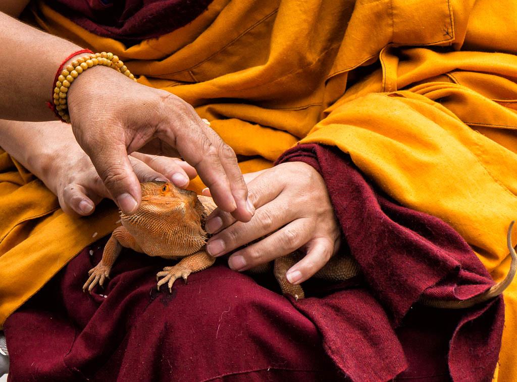 Tibetan Monks Blessing Bearded Dragon Lizard Pet in the Fl… | Flickr