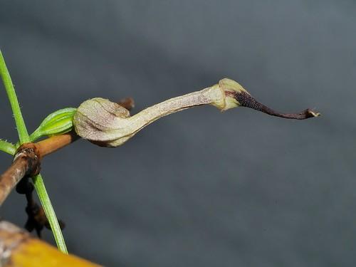 Little dutchmans pipe vine Aristolochia thozettii Aristolochiaceae Shute Harbour Airlie Beach P1020193