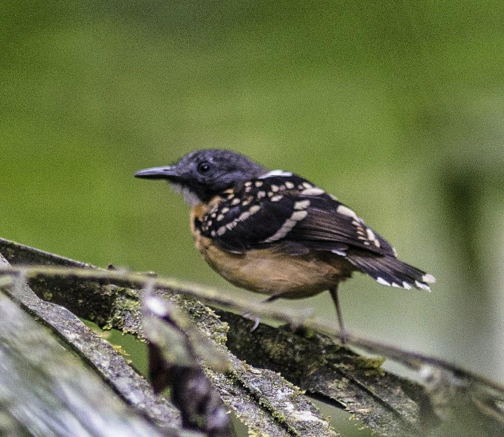 Spot-backed Antbird