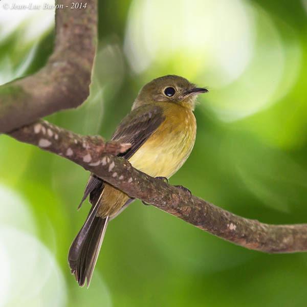 Whiskered Flycatcher (Myiobius barbatus)