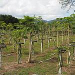 Di, 30.06.15 - 14:25 - Drachenfrucht-Plantage