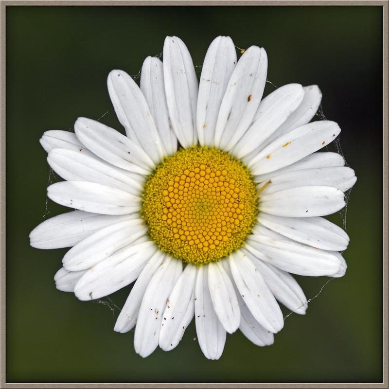 tiny pasture flower