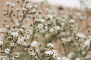 Baby's Breath Flowers | by christiankaff