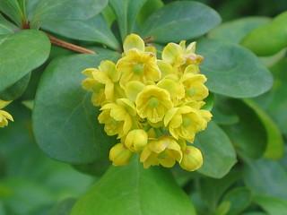 歐洲小蘗 Berberis vulgaris [匈牙利布達佩斯  Budapest, Hungary]