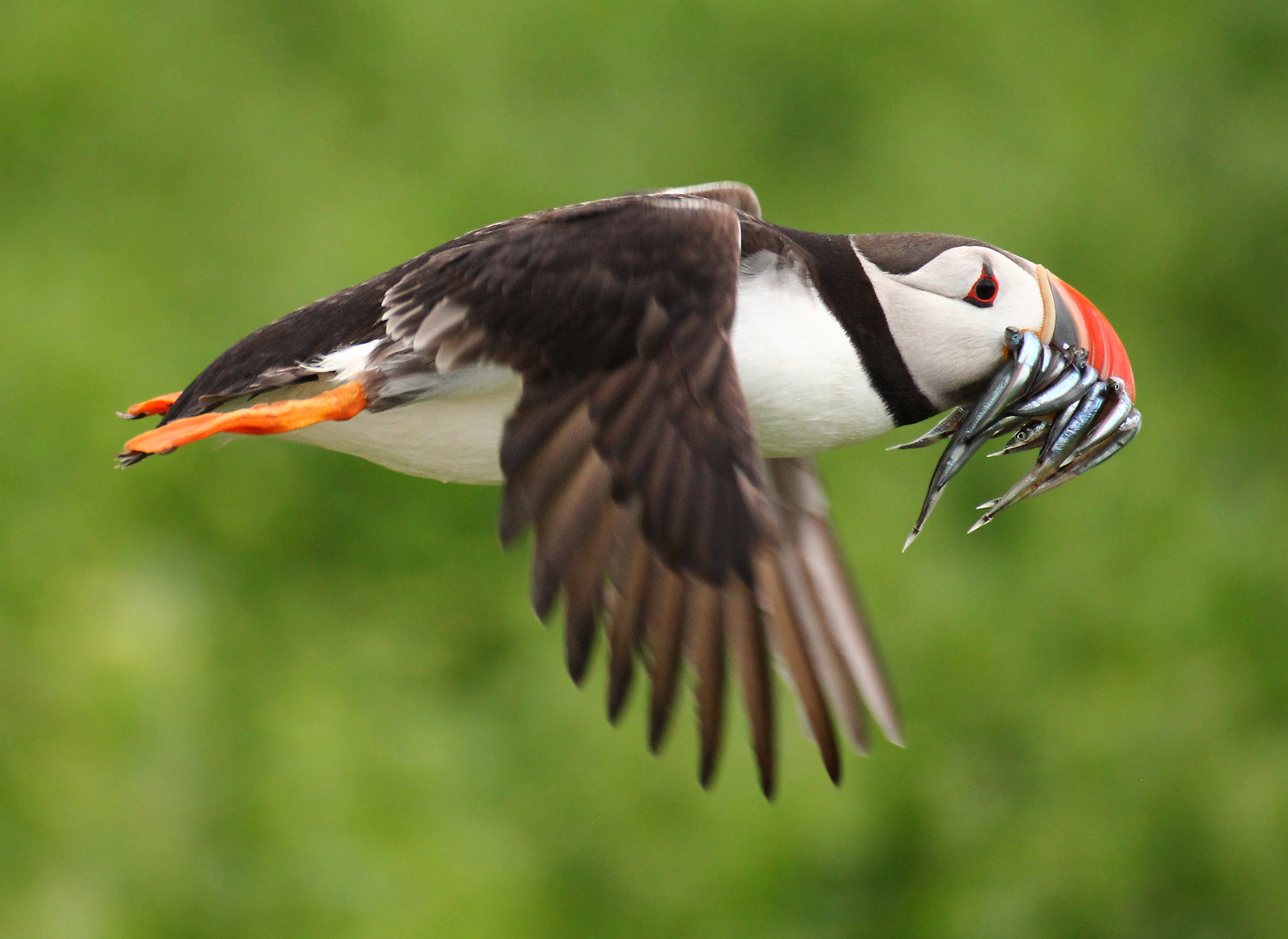 puffin with lots of fish in its beak