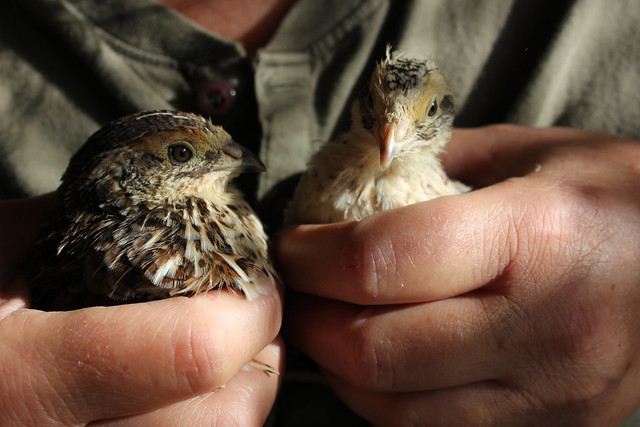 Double Trouble - organic quail chicks. Nos cailles bio. Codornices orgánicas