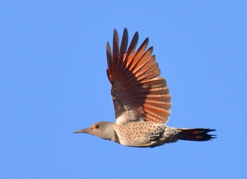 Female Red-Shafted Northern Flicker with wings up | by Darron Birgenheier