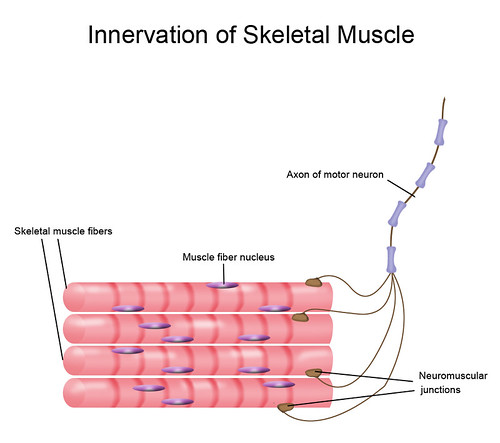 Skeletal muscle and motor neuron   by Zappy's