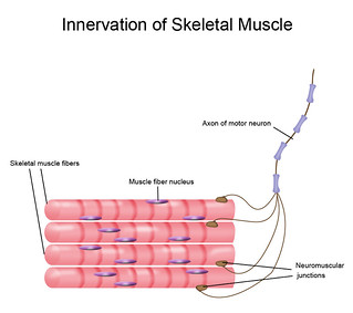 Skeletal muscle and motor neuron | by Zappy's