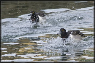 Ringed necked duck (Aythya collaris) 7 | by Alejandro Gonzalez T