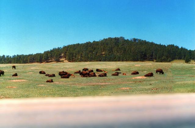 Black Hills South Dakota  ~ Buffalo ~ National Scenic Byway Trail ~ Old 35mm Film