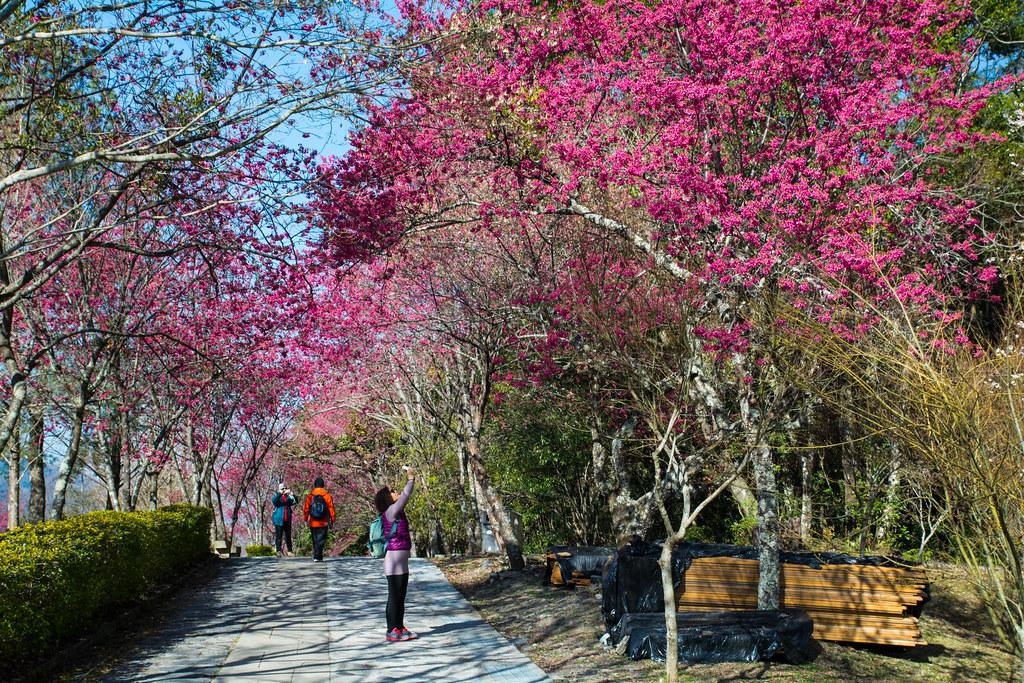 奧萬大櫻花祭