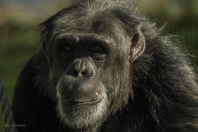 Schimpanse Zoo Karlsruhe