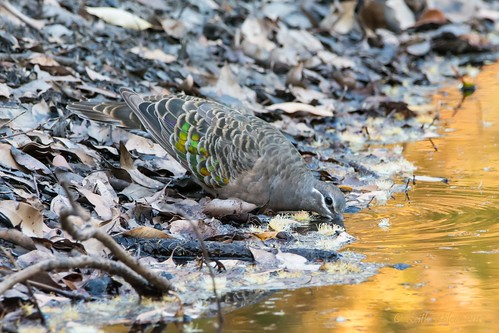 common bronzewing phaps chalcoptera