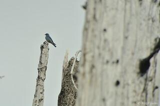 Mountain Bluebird | by Rob Fowler