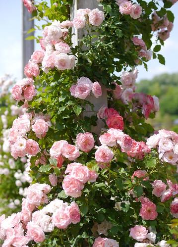 Rose, Sakura-Gasumi Climbing, バラ, 桜霞 つる, | by T.Kiya