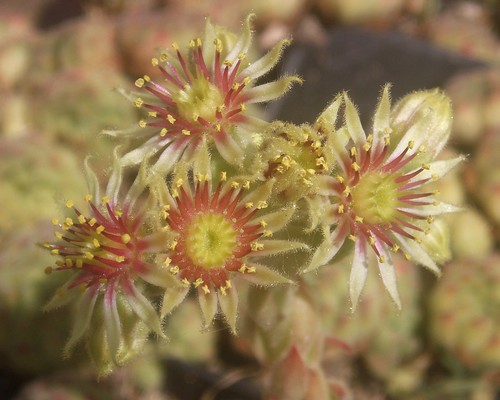 Sempervivum ruthenicum ssp. zeleborii | by s@boten
