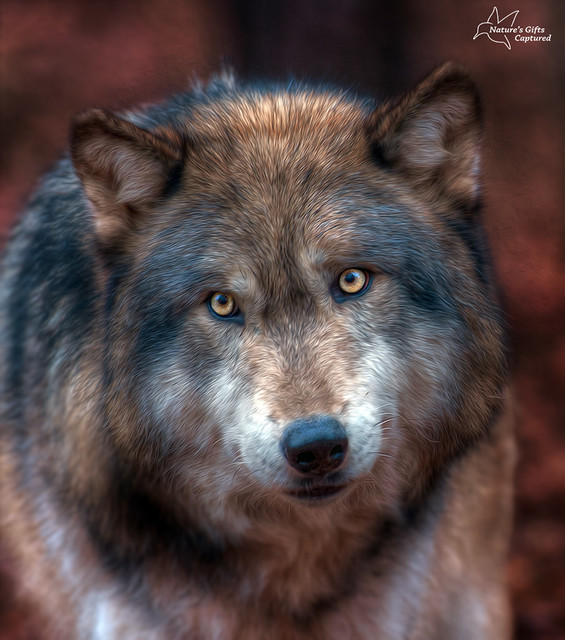 Timber Wolf - Lakota Wolf Preserve
