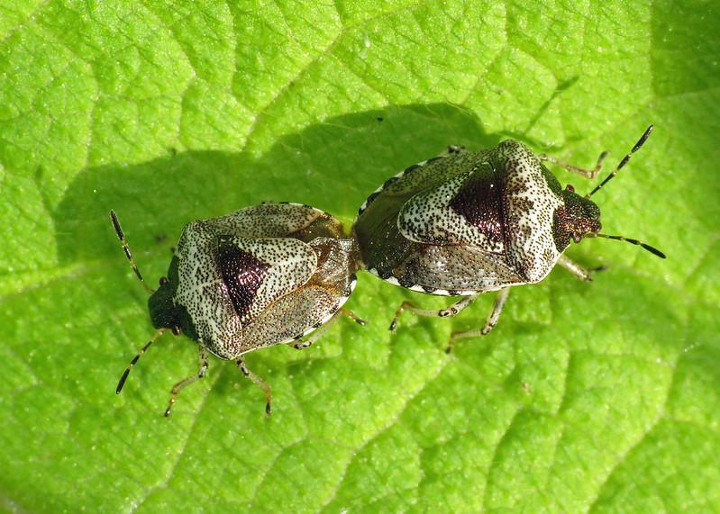 Woundwort Shieldbug - Eysarcoris fabricii