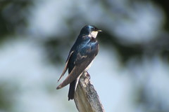 Tree Swallow, 6/26/2013, Potter Marsh, Anchorage, AK