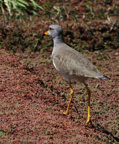 Grey-headed Lapwing | by Thomas.Gut