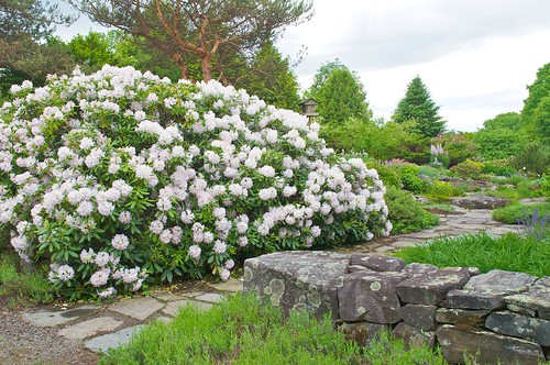 Catawba Rhododendron | by Distant Hill Gardens