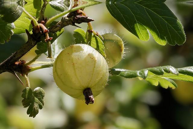 Stachelbeere / Gooseberry
