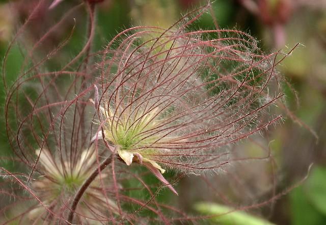 Blowing in the Wind - Prairie Smoke - Geum triflorum - Chicago Botanic Garden - Hit L