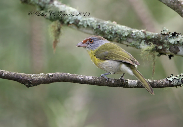Rufous-browed peppershrike / Pitiguari / Cyclarhis gujanensis