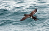 Hutton's Shearwater Puffinus huttoni titi Wellington by Maureen Pierre